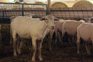 sheep shearing 5